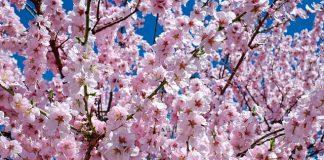 Festival das Cerejeiras