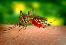 mosquito da febre amarela