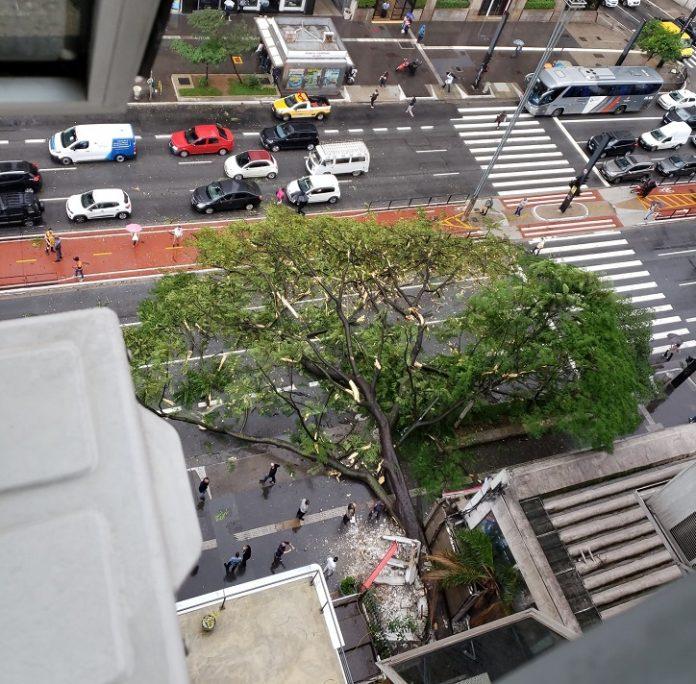Árvore Avenida Paulista