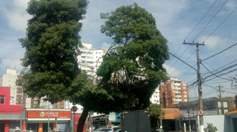 Árvore no Butantã